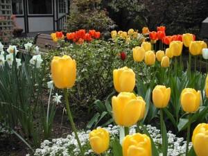 Tulips, close-up