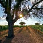 Rodney's Vineyard Fes904F8