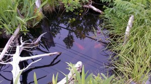 The Rosedale Manor's koi pond