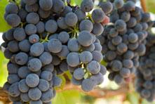grapes(2)