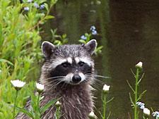 raccoon_01_225