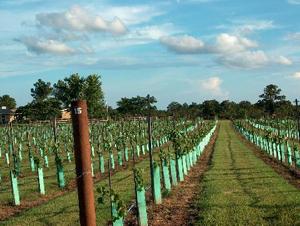 480_vineyard1.JPG